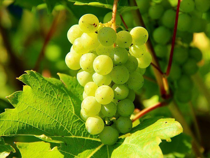uva blanca - vinos denominación de origen Alella